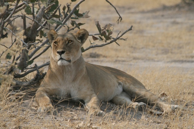 lioness-about-20-feet-away-from-our-vehicle