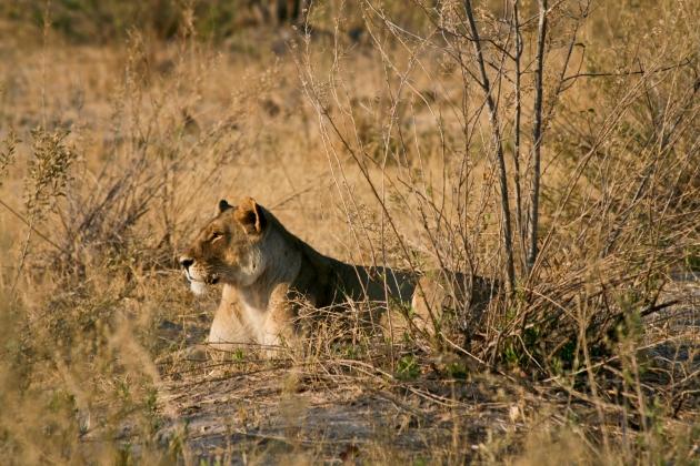 lion-2007-29